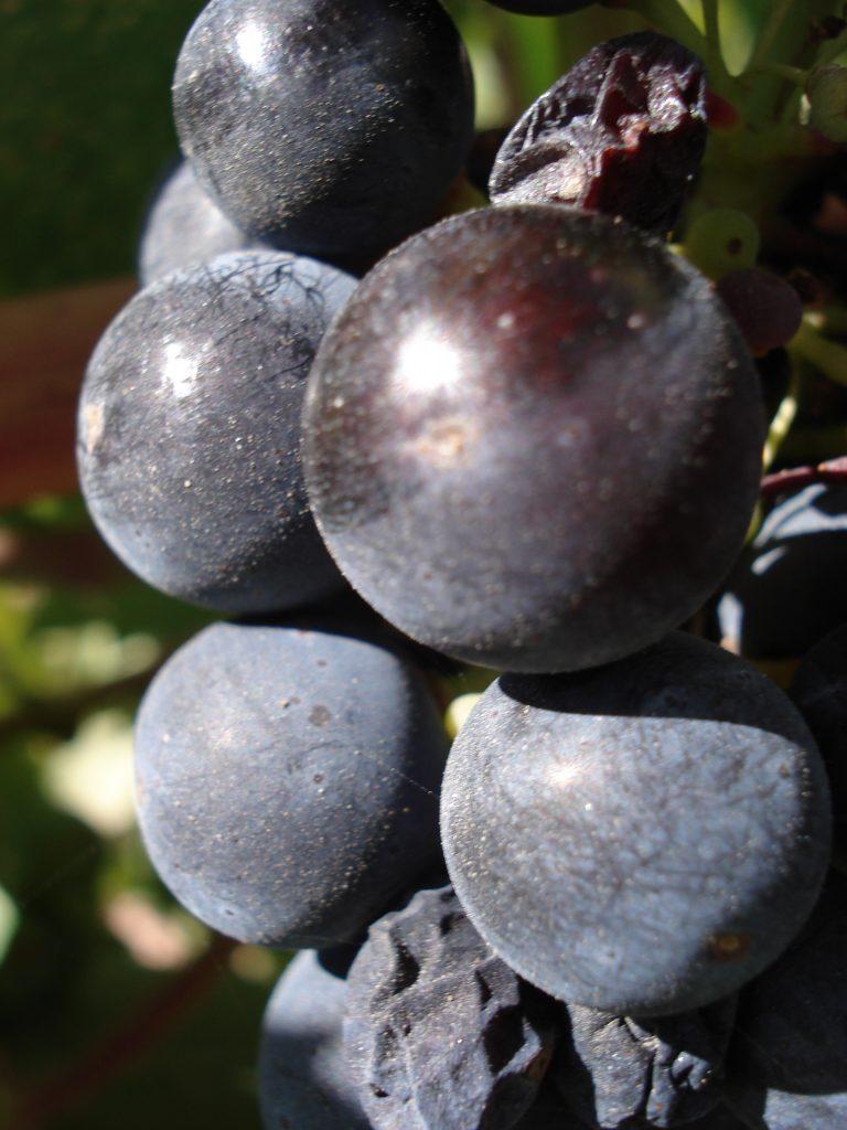 grapes paso robles