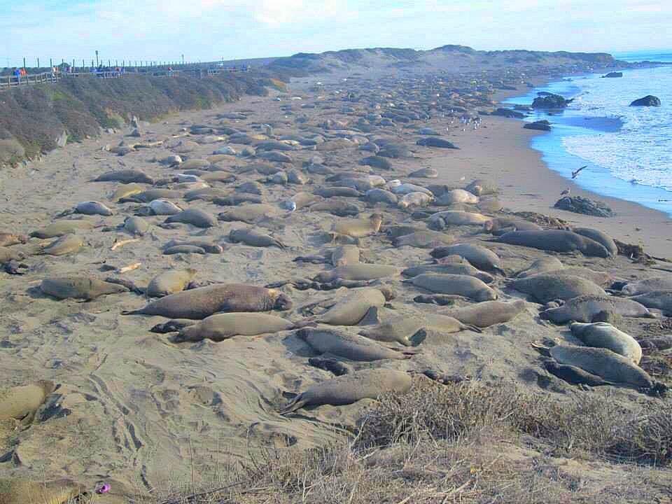Elephant seals in Piedras Blancas , CA