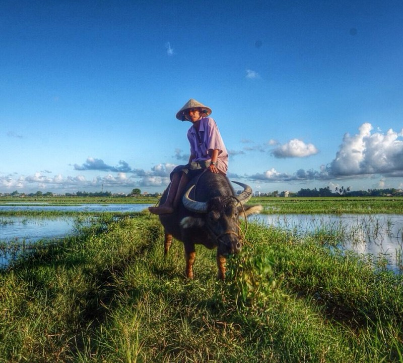 Water buffalo in paddy fields in Hoi An Vietnam
