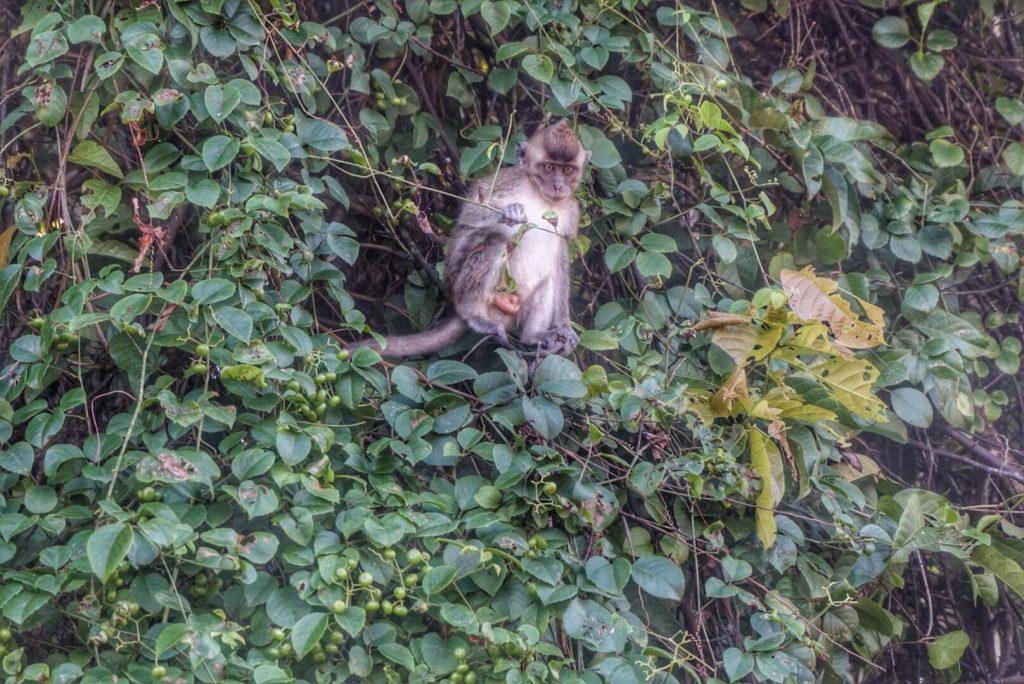 kinabatangan-sabah-borneo-monkey